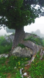 pine rock