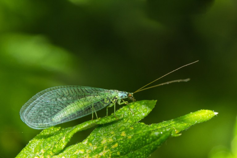 Green Lacewing on leaf