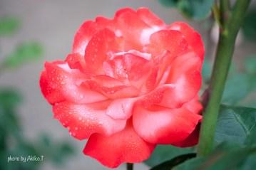 akiko_rose-1-2