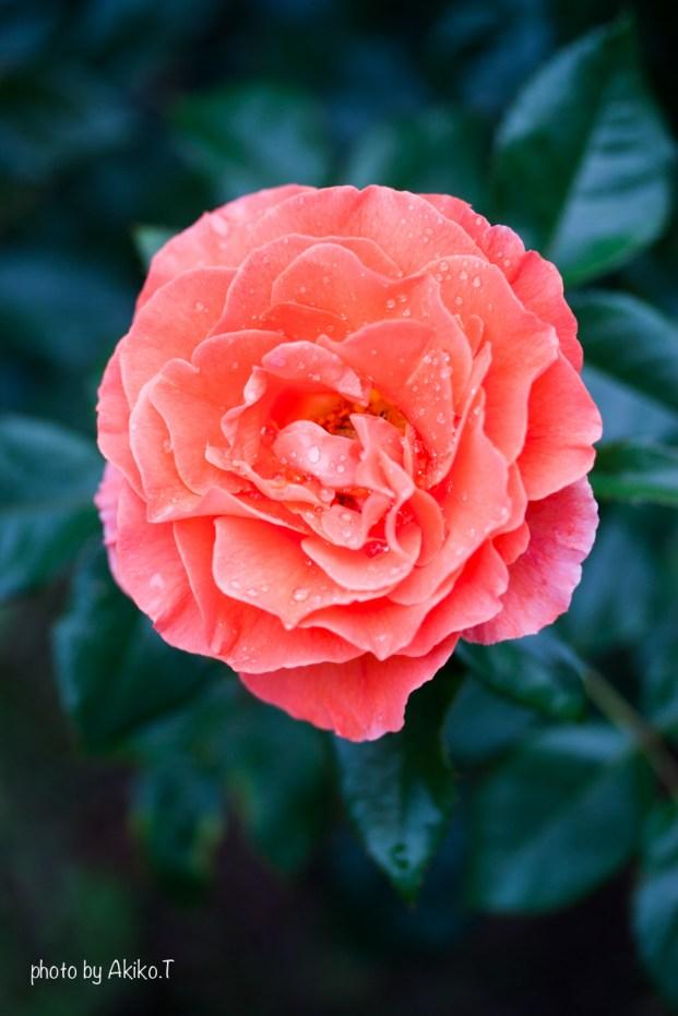 akiko_rose-11