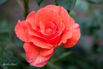 akiko_rose-12
