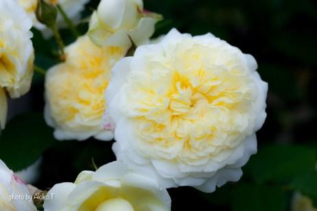 akiko_rose-36