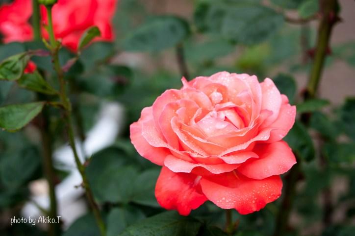 akiko_rose-4