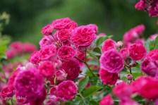 akiko_rose-44