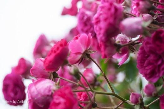 akiko_rose-45