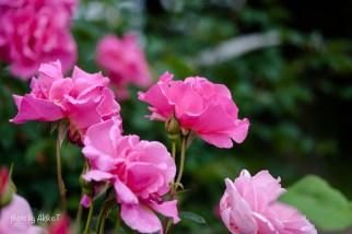 akiko_rose-47
