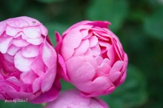 akiko_rose-56