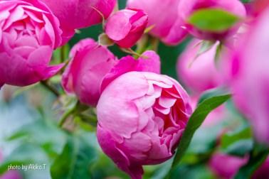 akiko_rose-58