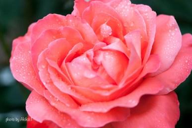 akiko_rose-6