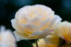 akiko_rose-65