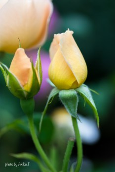 akiko_rose-73