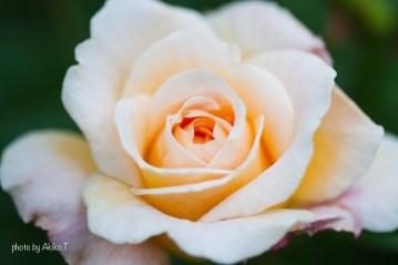 akiko_rose-74