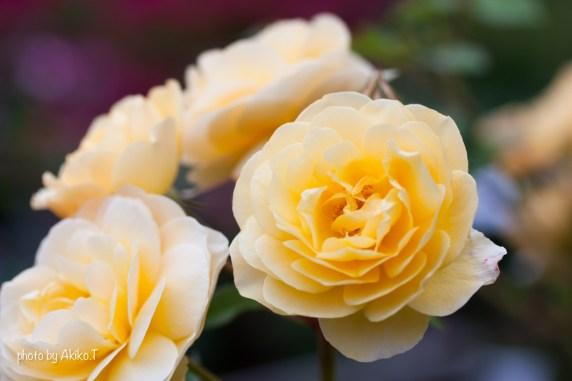 akiko_rose-79