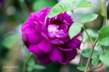 akiko_rose-82