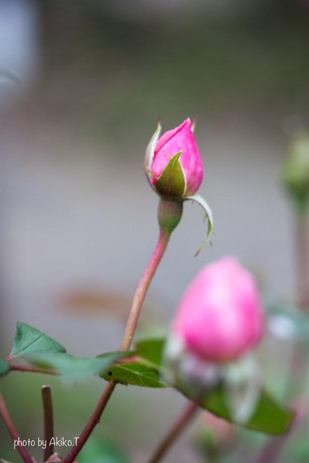 akiko_rose-86