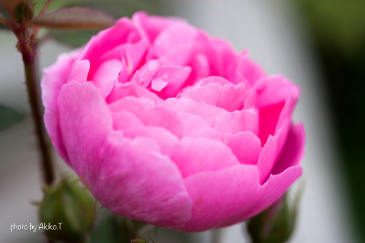 akiko_rose-87