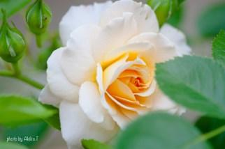akiko_rose-9