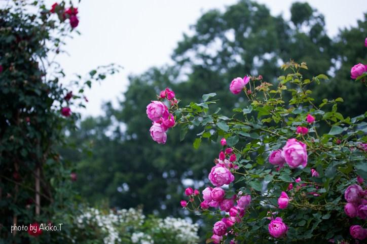 akiko_rose-91