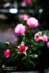 rose-35