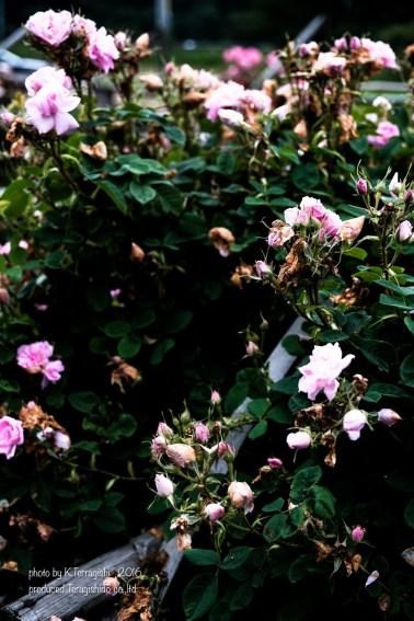 rose-43