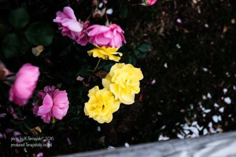 rose-53