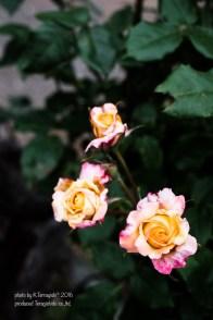 rose-65