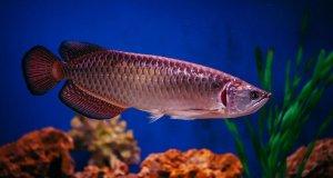 jenis ikan Arwana Tercantik