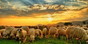 Domba di padang
