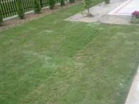 ułożony trawnik przed podlaniem wodą