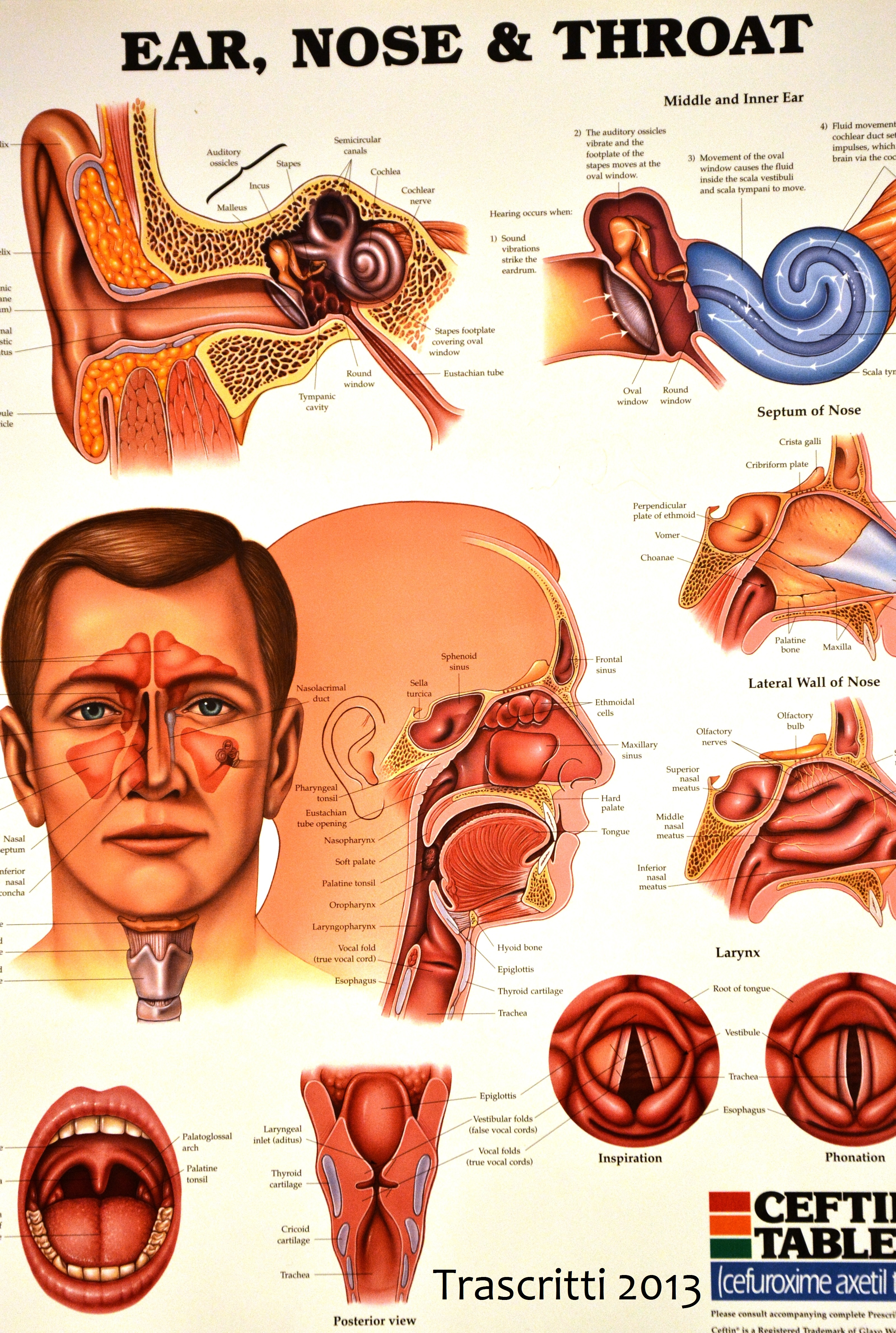 27 Ear Nose And Throat Anatomy Diagram