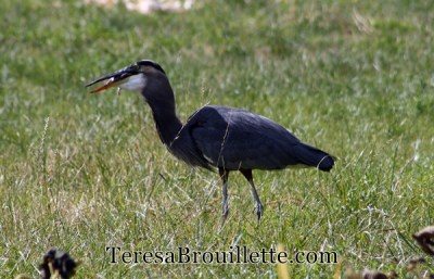 How to get your backyard ready for bird watching, and a hunting Great Blue Heron.