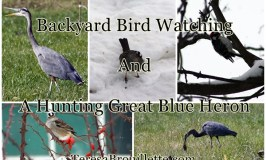 Backyard Bird Watching And A Hunting Great Blue Heron