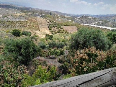A view over the mango plantations towards Velez Malaga and the Mediterranian