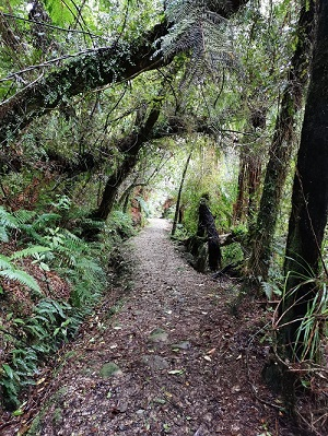 The track to the giant Rimu tree