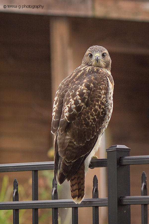 Red Tail Hawk Easton PA Photography Teresa G