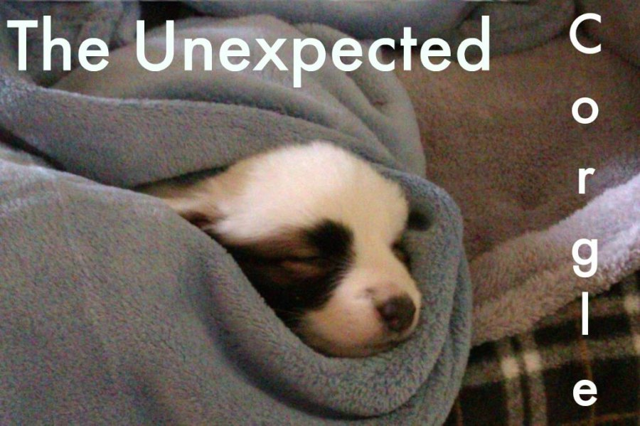 A puppy wrapped in a blanket with title The Unexpected Corgle