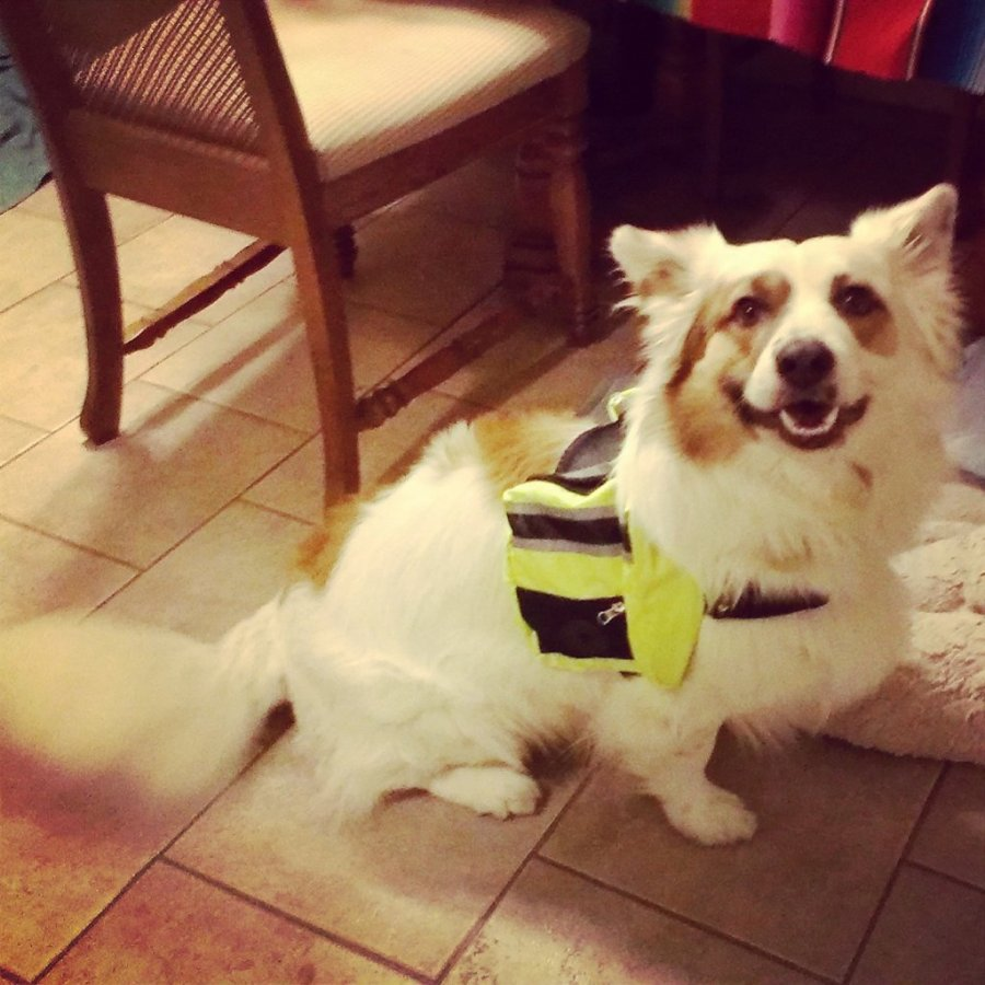 photo of the author's corgle wearing a doggy backpack