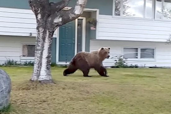 This Craziness Comes To Us Via The Internet Welcome To Alaska Kids This Massive Brown Bear Was Just Walking Through A Quiet Neighbourhood In Anchorage