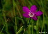 Természetfotók Karintiából - Alpesi virágok