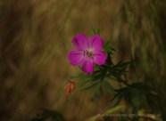 Geranium, természetfotók a Pilisből