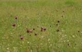 Ágasegyházai / Orgoványi-rétek növényei