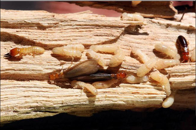 Termite Damage, a Problem or Not - home inspector home inspections