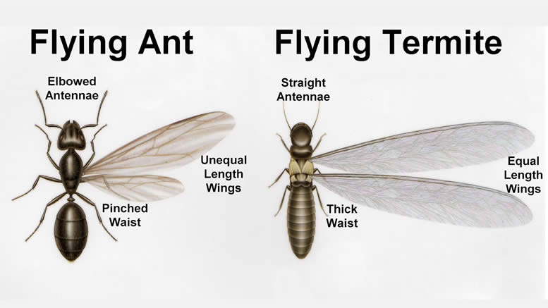 Ants Vs Termites How To Tell Them Apart