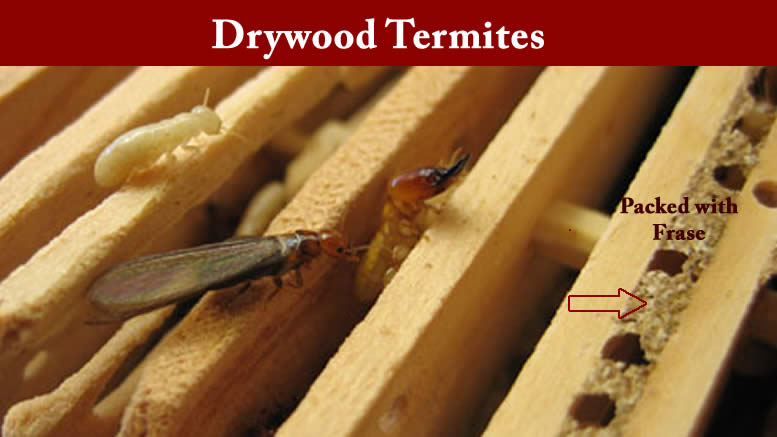 Drywood Termites Battle Plan
