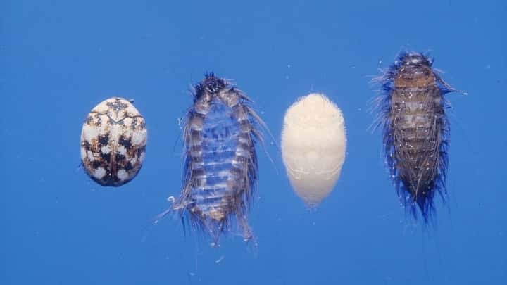 Do Carpet Beetles Have Wings And Can Fly Termites Blog