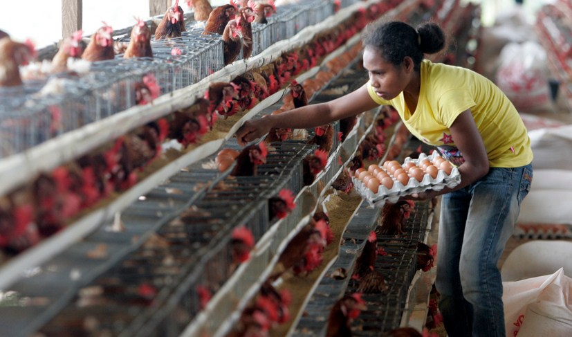 rincian Modal Bisnis Ayam Petelur