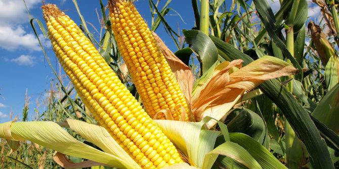Expor jagung