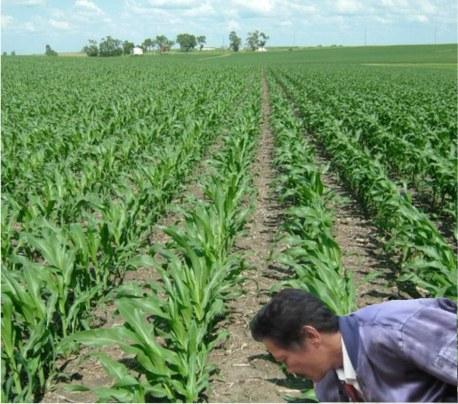 Pemupukan Dasar tanaman jagung