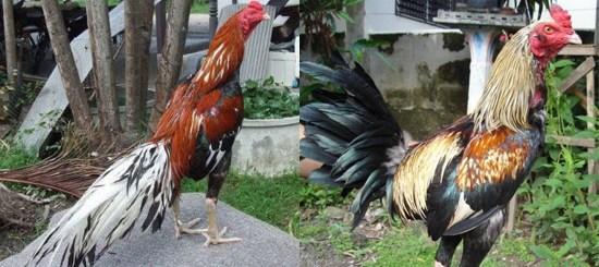 Jenis Ayam Bangkok