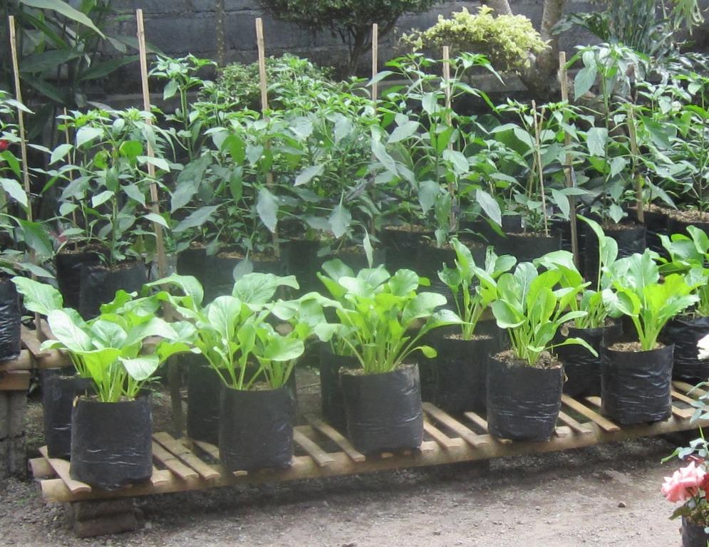 menanam sayuran di pekarangan rumah